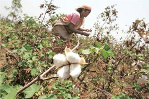 Legal wrangle: A woman collects cotton pods. Currently, four varieties of GM cotton have been approved by Geac for commercial production. Photograph: Aijaz Rahi / AP