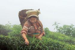 Pick of the season: A woman plucking tea leaves in a Darjeeling tea garden. Tea production in the country rose to 476,000 tonnes between January and July, from 459,000 tonnes in the year-ago period. I