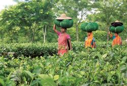Industry demand : A tea garden near Agartala, Tripura. Tea Board officials say the industry has been asking for stern quality-assurance steps after the seizure of about 26 tonnes of spurious tea meant
