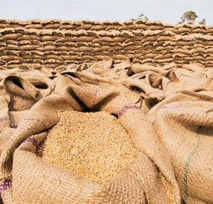 Abundant produce? The total wheat stock with the Union government as on 31 August was 23.25mt, out of which the state governments and their agencies held 13.4mt while FCI held 9.69mt. Ramesh Pathania