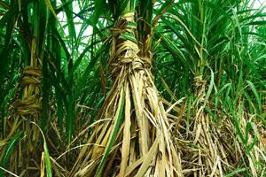 Alternative use: A sugar cane field. The proposed fund for secondary agriculture will promote activities such as extraction of biofuel from sugar cane, oil from rice bran, and vitamins from food grain