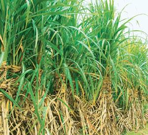 Lower forecast: A shrinking in plantation area may see production of refined sugar falling to 20 million tonnes in the 12 months ending September, lower than the August forecast of 22 million tonnes.