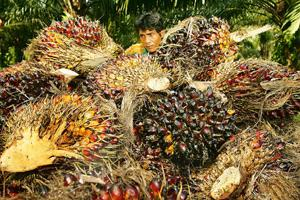 Good news: A worker at a pile of harvested oil palm fruits in Malaysia. An increase in purchases of palm oil by India may help palm growers in Indonesia and Malaysia to get rid of their huge stockpile