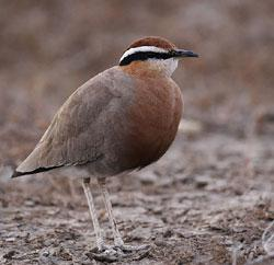 The Indian Courser
