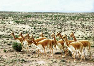 Fleeced: Vicuñas are found in the central Andes.