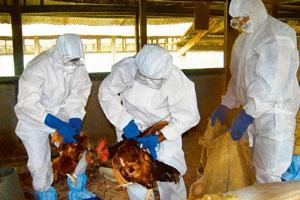 Damage control: Health officials cull chickens at a farm in Guwahati. AP