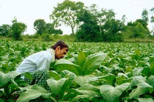 Seeking alternatives: A file photo of a farmer in a tobacco field. About 100,000 people are engaged in tobacco cultivation in the country. Rajendra Jadhav / Reuters
