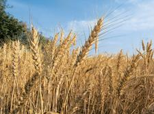Good harvest: Wheat output may exceed last year's 78.4mt. Ramesh Pathania/Mint