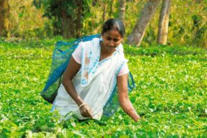 Reaping no benefits: A worker at a tea garden in Jorhat, Assam. Indranil Bhoumik / Mint