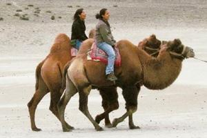 Be a sport: Go ahead, take a ride on a double-humped camel in Nubra Valley, Ladakh. GetOffYourAss