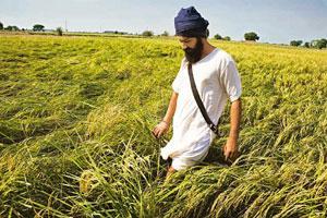 Image result for punjab rice farmer