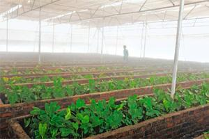 Monsoon blues: A greenhouse in a cooperative sugar factory in Satara, near Pune, in July. Prices are up around 60% this year on prospects that India will import supplies for a second year. Prashanth V