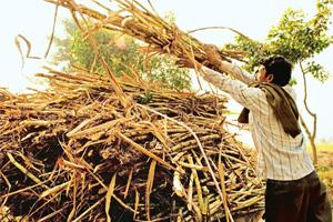 Agrarian woes: Sugar cane farming in Uttar Pradesh. Hobbled by small farm sizes, an intense reliance on monsoon rains and extensive government control, Indian farmers are less productive and more vuln