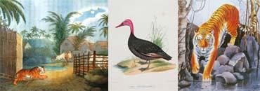 Flora and fauna: (left to right) A painting shows a tiger entering a village; a painting of a Pink-headed Duck, a bird that was common in Mumbai in the 1920s; and a painting by J.P. Irani. Photograph