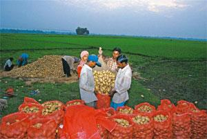 Sensitive issue: Farmers packing potatoes in West Bengal. It is estimated that a 1 degree Celsius increase in average global temperature will reduce yields of potato, wheat, soyabean, mustard and grou