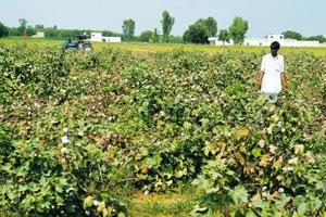 GM controversy: A file photo of a cotton field in Haryana. Bt cotton, which contains a gene sourced from a soil bacterium, is the only commercially available genetically modified product in the countr