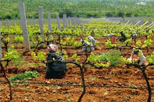 Taste matters: A vineyard of Grover Vineyards Ltd near Bangalore. The winemaker will for the first time pay per acre rather than per kg of grape. Hemant Mishra / Mint