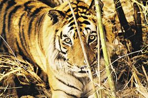 External imbalances: A vast number of creatures in the food chain, including the tiger, have been affected due to changes in the climate. Hindustan Times