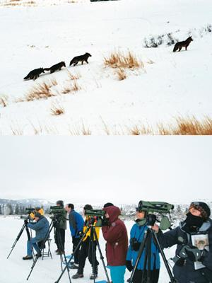 Snowscape: (top) Coyotes on the prowl; and participants viewing wolves through the spotting scope. Photographs by D.K. Bhaskar