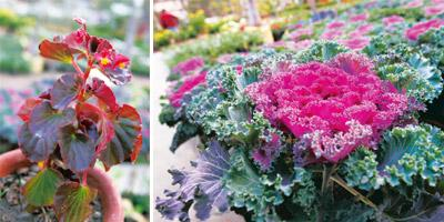 (Left) Give me red: Begonias add colour even before blooming.(right)  Bold Brassica: This colourful kale is related to edible cabbages.