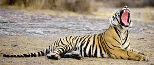 Cornered: In this year of the tiger, there are very few of the magnificent beasts left. Aditya Singh/AFP