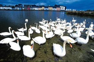 Bird spotting: Yeats would visit Coole Park every year to see the swans. AFP