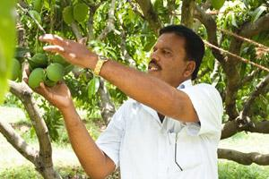 Fruity affair: Dandapani at his farm. Tamil Nadu farmers have taken up cultivation of Alphonsos, thus far a monopoly of the Konkan belt. K.Ganesh/Mint