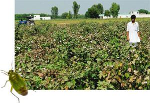 Research paper on bt cotton