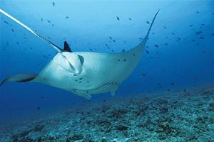 Spotted: The monsoon is the time for manta sightings in the Maldives.