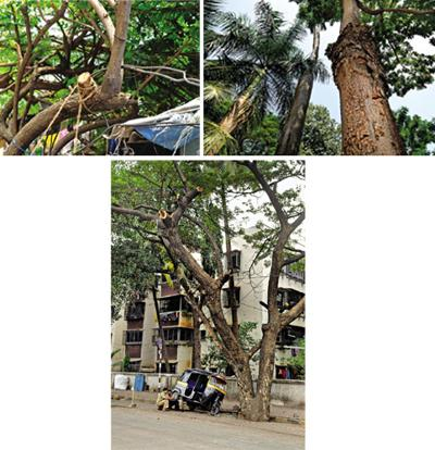 Mutilated: (clockwise from top left) Trees hacked to make way for the annual Ganesh festival hoardings in Lalbaug; palms transplanted by the BMC at the periphery of Oval Maidan; and the effects of tre