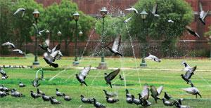 Pigeon coup: Who else thinks these birds are an urban menace? Sonu Mehta/Hindustan Times