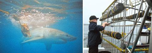 A great show: (left) A great white shark at Shark Bay; and the six-person cage used to view sharks being secured. Photographs: Jayati Vora