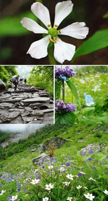 In bloom: (clockwise from top) The Himalayan mayapple is being tested for its potential as a cure for cancer; blue hackelia (photographs by KR Keshava Murthy); white anemones fill the grassy slopes; a