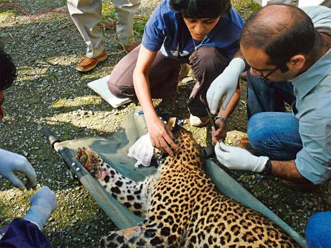 Tracking behaviour: A file photo of Charlotte, an adult leopardess, being radio-collared by Vidya Athreya (left) and Sandeep Rattan in Shimla. Photo Coutesy: Vidya Athreya