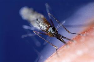 A mosquito,the primary Malaria-causing vector in humans.(File photo Bloomberg)