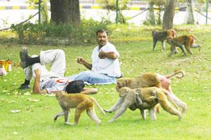 Men rest in a park as a group of monkeys pass by in New Delhi. File photo