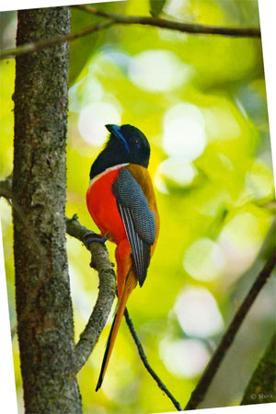 Shy guy: The Malabar Trogon is known to be shy but gets spotted for its spotted belly. Photo: Shiva Shankar