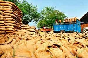 Storage woes: Wheat stocks at a mandi in Haryana. Wheat production was a record 252.56 mt in 2011-12, up from 241.56 mt in the previous year. That achievement is tempered by the fact that a sizable po