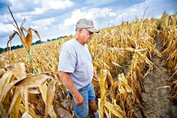 Dry run:A farmer walks through a drought-damaged corn field in Carmi, Illinois, in the US. Photo: Bloomberg