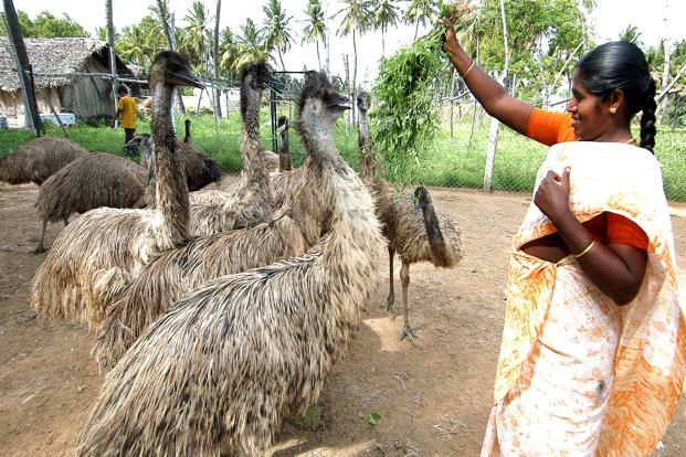 There are about 5,000 emu farms in the country, spread across states such as Andhra Pradesh, Orissa, Gujarat and Punjab, apart from Tamil Nadu, with about 250,000 birds in India. Photo: SaiSen/Mint (SaiSen/Mint)