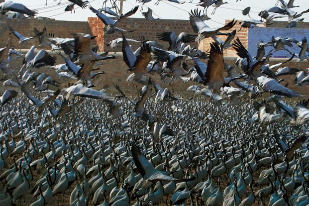 An estimated 12,000-15,000 Demoiselle Cranes visit Kheechan every year. Photo by Ananda Banerjee/Mint