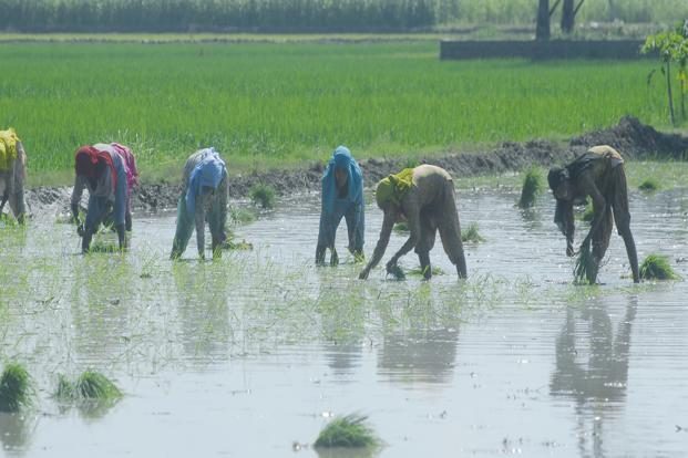 Output of summer-planted grain is expected to total 117.18 million tonnes. Photo: Ramesh Pathania