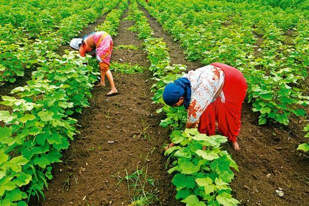 In Maharashtra, the second largest cotton growing state in the country after Gujarat, the state government plans to review whether agricultural technologies such as Bt are suitable in rain-fed or non-irrigated regions such as Vidarbha. Photo: Abhijit Bhatlekar/Mint (Abhijit Bhatlekar/Mint)