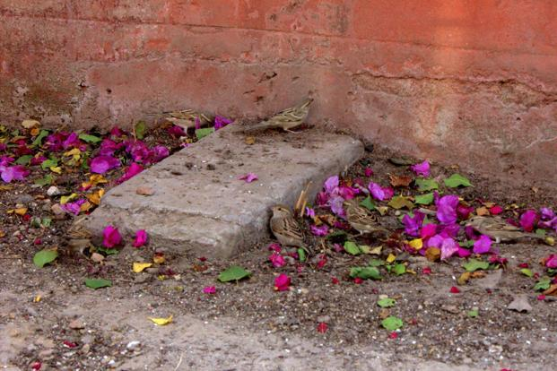 Sparrows, a rare site in Delhi these days, live in sheltered alcoves along walls of the Jama Masjid.