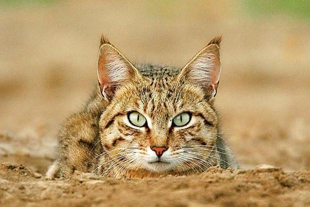 A desert cat in the Great Rann of Kutch. Photo: Ramki Sreenivasan.
