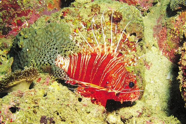 The lionfish is a genus of venomous marine fish, found mostly in the Indo-Pacific. Lionfish are popular in some parts of the world as food. Found in shades of red, grey and black, they are also prized in the aquarium trade. Photo: Nandakumar M and Rithesh Nanda