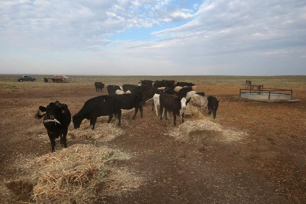 Cattle eat hay on drought ravaged grassland near Eads, on the plains of eastern Colorado. Photo: John Moore/AFP.