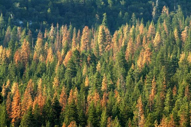 The study showed that trees were not only dying en masse in forest fires, but were also perishing at 10 times the normal rate in non-fire years. Photo: AFP