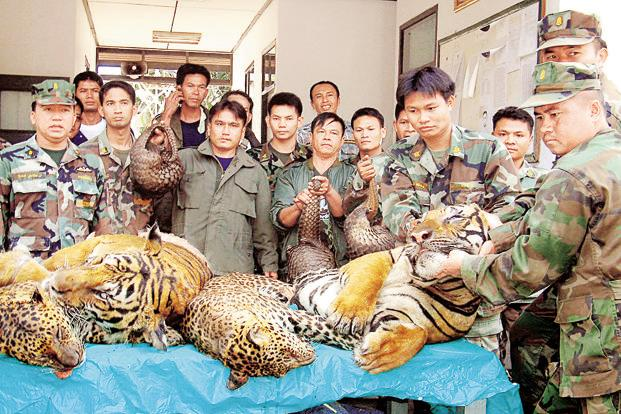 A January 2008 photo of Thai navy officers with carcasses of Bengal tigers, leopards and pangolins that they seized on the Maekhong river's bank near the Thai-Laos border. Photo: AFP