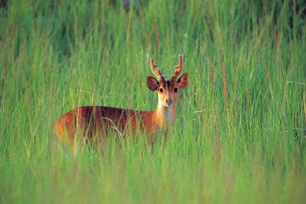 the spotted deer, or chital, in population. Today, the hog deer